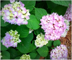 hydrangeas doing well